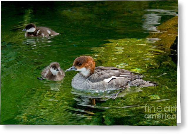 Ducklings Greeting Cards - Smew With Ducklings Greeting Card by Anthony Mercieca