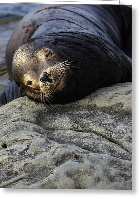 California Sea Lions Greeting Cards - Smile Greeting Card by Linda Gray