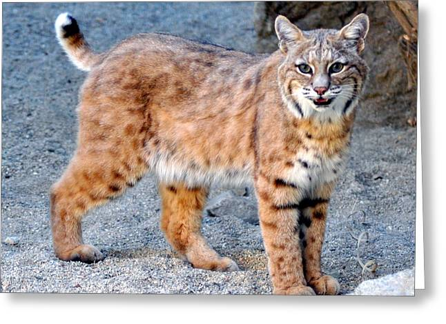 Bobcats Photographs Greeting Cards - Smile Greeting Card by Patricia Quandel