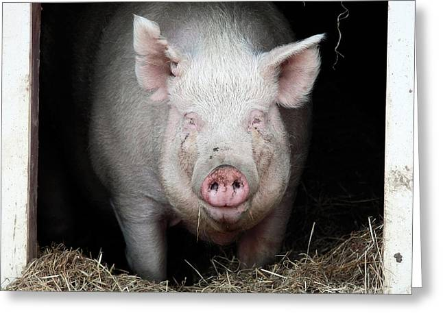 Pig Photos Greeting Cards - Smiling Pig Greeting Card by John Rizzuto