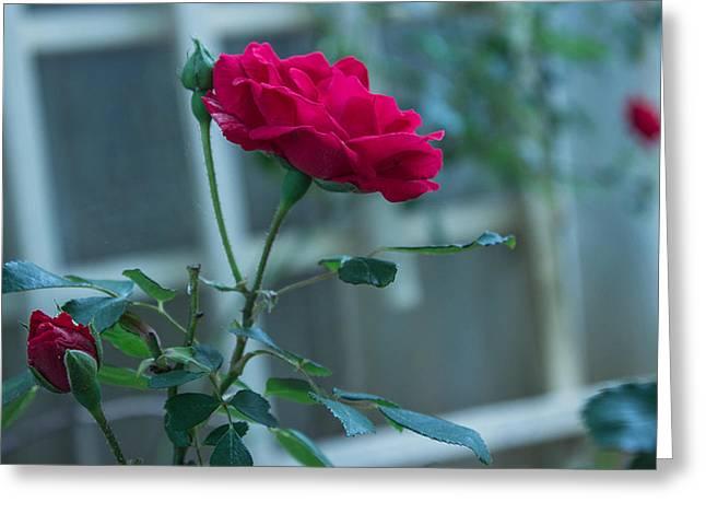 Trellis Pyrography Greeting Cards - Smiling Rose Greeting Card by C Devon Brown