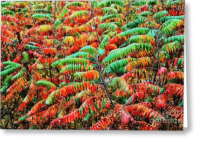 Glabra Greeting Cards - Smooth Sumac Fall Color Greeting Card by Thomas R Fletcher