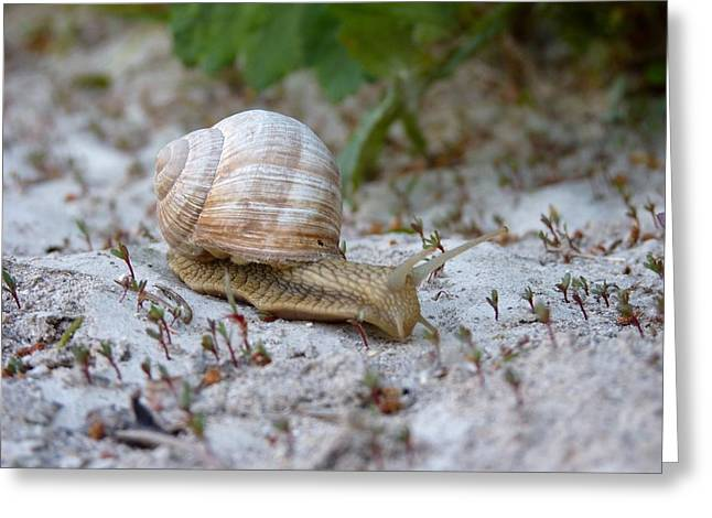 Snail Shell Greeting Cards - Snail Photography Greeting Card by Rachel Stribbling