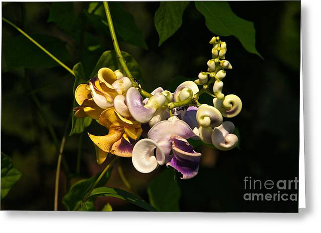 Snail Vine Close Up Greeting Card by Byron Varvarigos