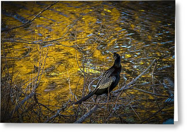Cormorants Greeting Cards - Snake Bird Greeting Card by Marvin Spates