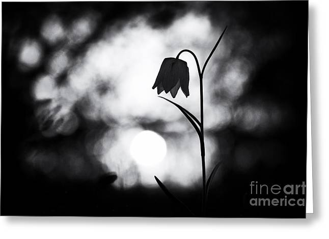 Fritillaria Greeting Cards - Snakes Head Fritillary Monochrome Greeting Card by Tim Gainey