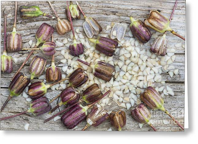 Garden Art Photographs Greeting Cards - Snakes Head Fritillary Seed Pods  Greeting Card by Tim Gainey