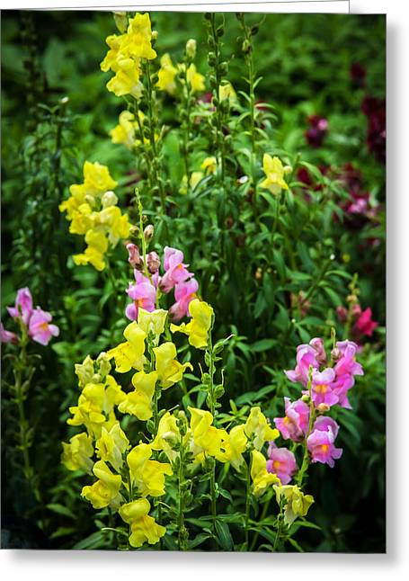 Rich Colorful Flower Greeting Cards - Snapdragons Antirrinum Flowers Greeting Card by Rich Franco
