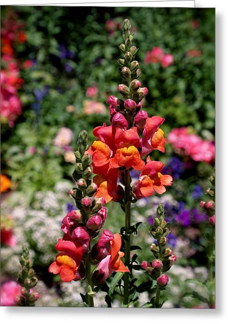 Flower Art Greeting Cards - Snapdragons Greeting Card by Rona Black
