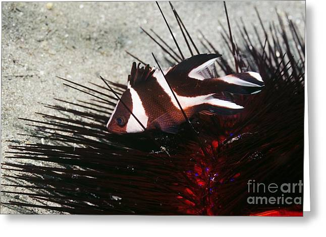Red Snapper Greeting Cards - Snapper And Sea Urchin Greeting Card by Georgette Douwma