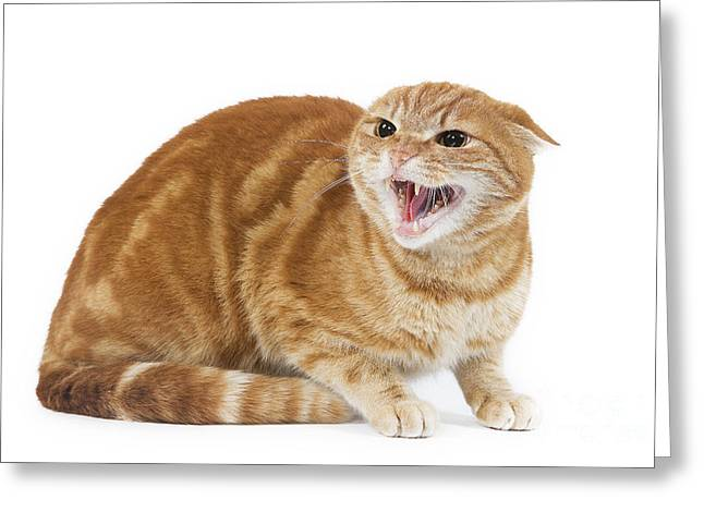 Aggressive Postures Greeting Cards - Snarling Cat Greeting Card by Jean-Michel Labat