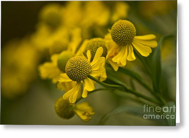 Sneezeweed Greeting Cards - Sneezeweed Pictures 6 Greeting Card by World Wildlife Photography