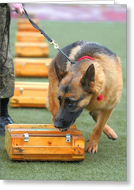Working Dog Greeting Cards - Sniffer dog championships Greeting Card by Science Photo Library
