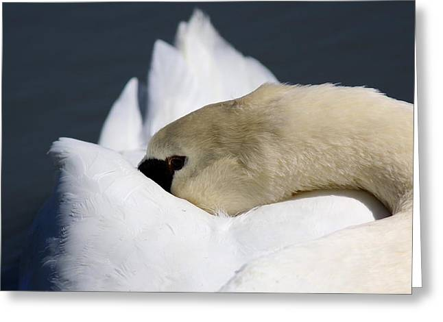 Snoozer - Swan Greeting Card by Travis Truelove