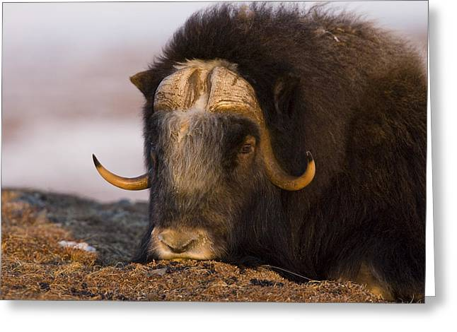 Musk Greeting Cards - Snoozing Musk Ox Greeting Card by Tim Grams