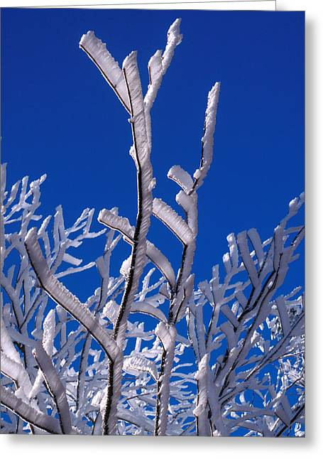 Snowy Day Greeting Cards - Snow And Ice Coated Branches Greeting Card by Anonymous