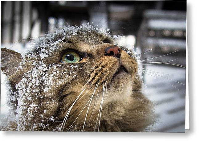 Maine Coon Greeting Cards - Snow Cat Greeting Card by Shane Holsclaw