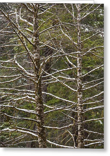 Temperate Rain Forest Greeting Cards - Snow Cover Red Alders Greeting Card by Tim Grams