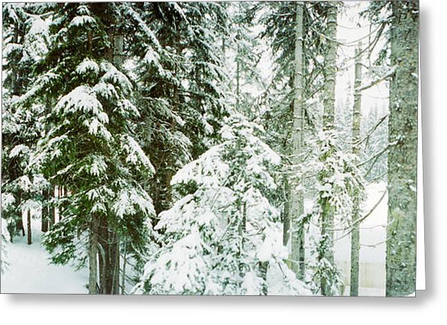 Evergreen Trees Greeting Cards - Snow Covered Evergreen Trees At Stevens Greeting Card by Panoramic Images
