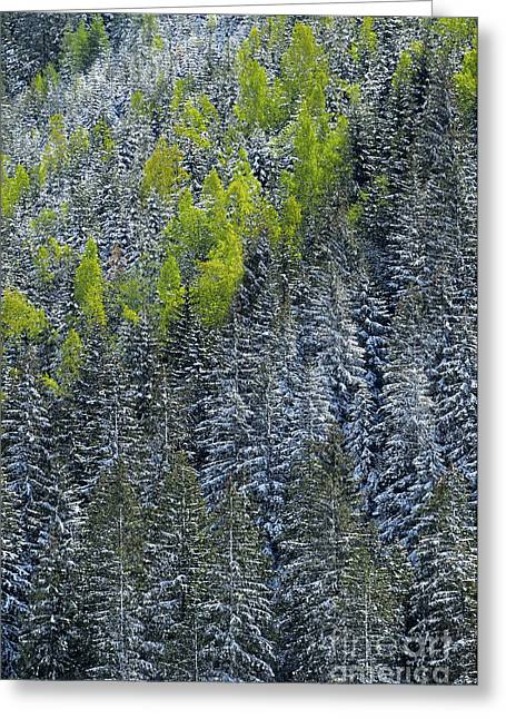Berne Canton Greeting Cards - Snow Covered Evergreens Greeting Card by JH Photo Service