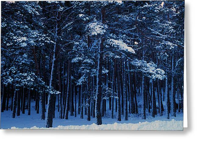 Temperature Greeting Cards - Snow Covered Pine Trees In Winter Greeting Card by Panoramic Images