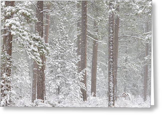 Ponderosa Greeting Cards - Snow Covered Ponderosa Pine Trees Greeting Card by Panoramic Images