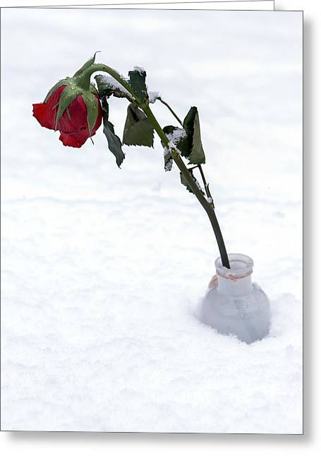 Flower Blossom Greeting Cards - Snow-covered Rose Greeting Card by Joana Kruse