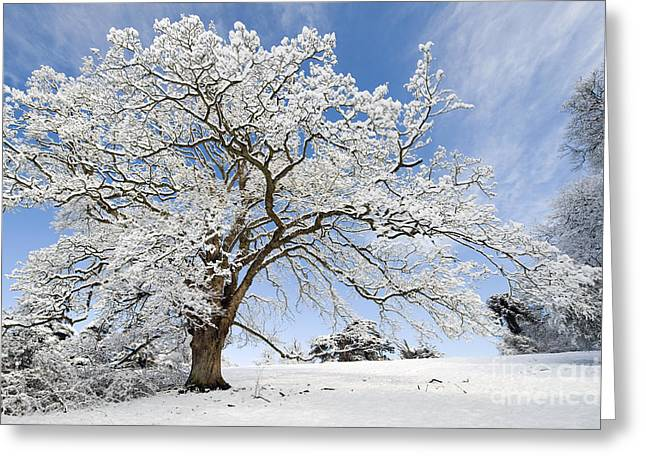 Bare Tree Photographs Greeting Cards - Snow Covered Winter Oak Tree Greeting Card by Tim Gainey
