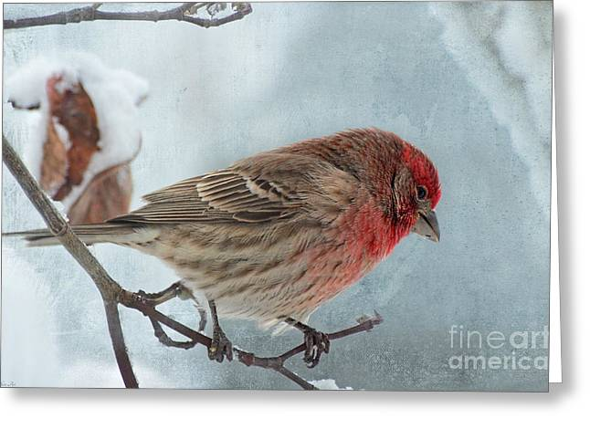 Bird Greetingcards Greeting Cards - Snow Day Housefinch with texture Greeting Card by Debbie Portwood