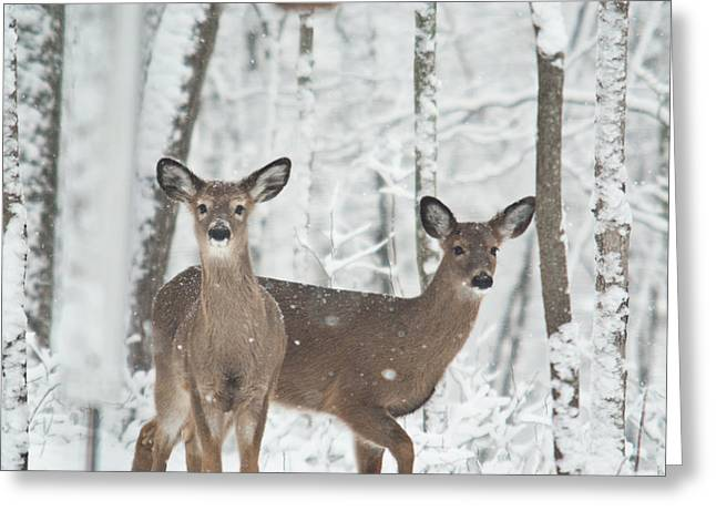 Pause Greeting Cards - Snow Deer Greeting Card by Douglas Barnett
