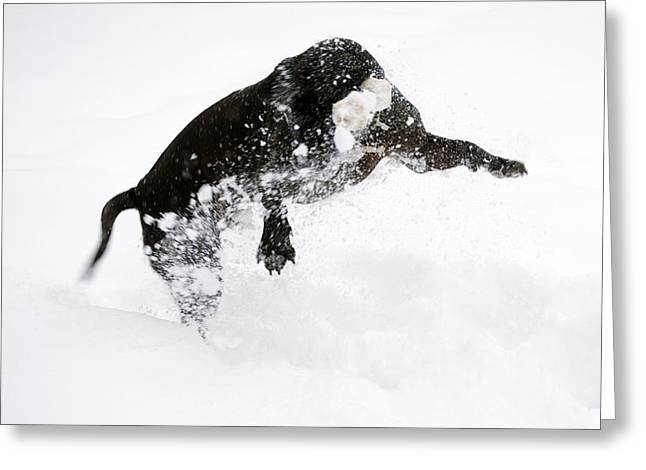 Experiment Greeting Cards - Snow Dog Greeting Card by Crystal Harman