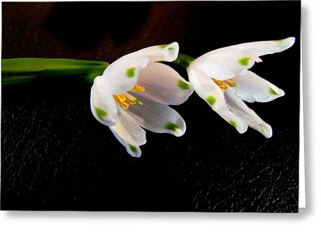 Joyce Woodhouse Greeting Cards - Snow Drope Flower Greeting Card by Joyce Woodhouse
