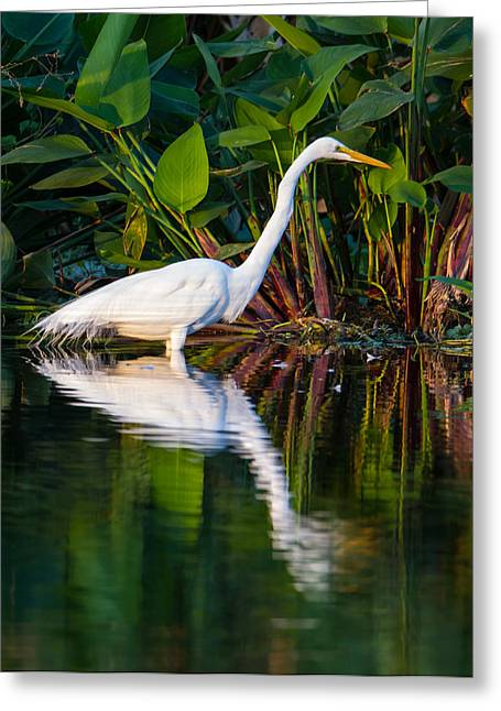 Snowy Egret Greeting Cards - Snow Egret and Its Reflection Greeting Card by Andres Leon