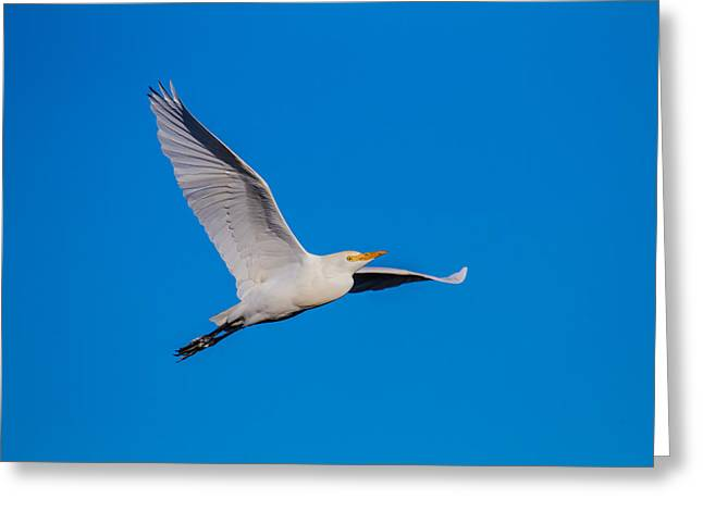 Wild Life Greeting Cards - Snow Egret in Flight Greeting Card by Andres Leon