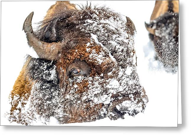 White Thick Fur Greeting Cards - Snow fight 1 Greeting Card by Thomas Szajner