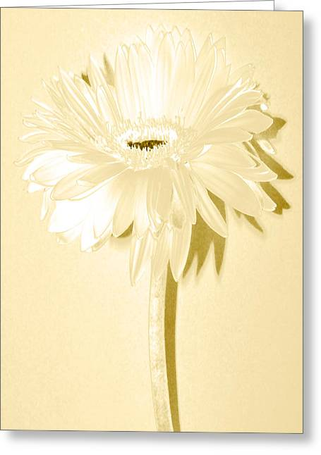 Sunburst Floral Still Life Greeting Cards - Snow Flake Zinnia Greeting Card by Sherry Allen
