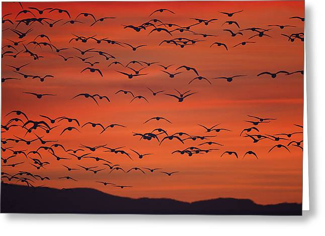 Geese Silhouette Greeting Cards - Snow Geese - Bosque del Apache Greeting Card by Sharon Norman
