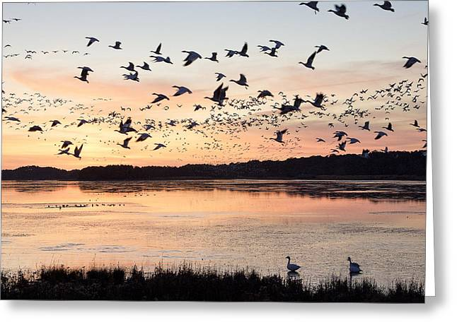 Snow Geese At Chincoteague Last Flight Of The Day Greeting Card by Bill Swindaman