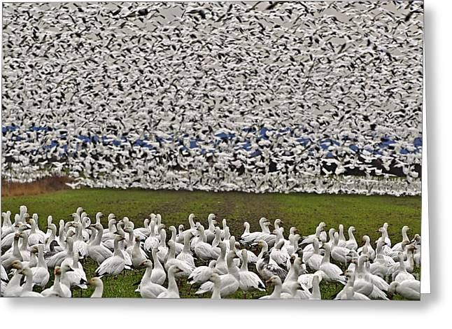 The Flight Of The Snow Geese Greeting Cards - Snow Geese by the Thousands Greeting Card by Valerie Garner