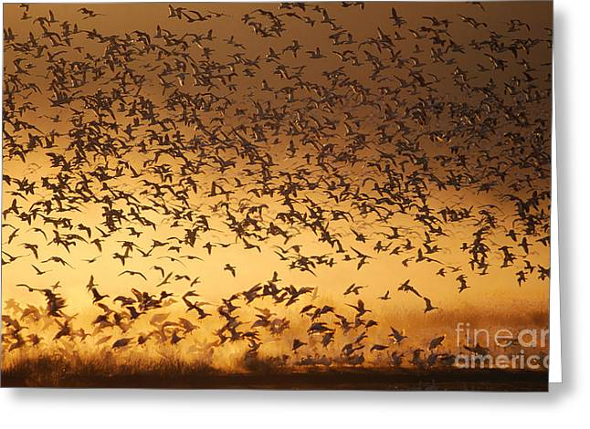 Water Fowl Greeting Cards - Snow Geese Chen Caerulescens Greeting Card by Ron Sanford