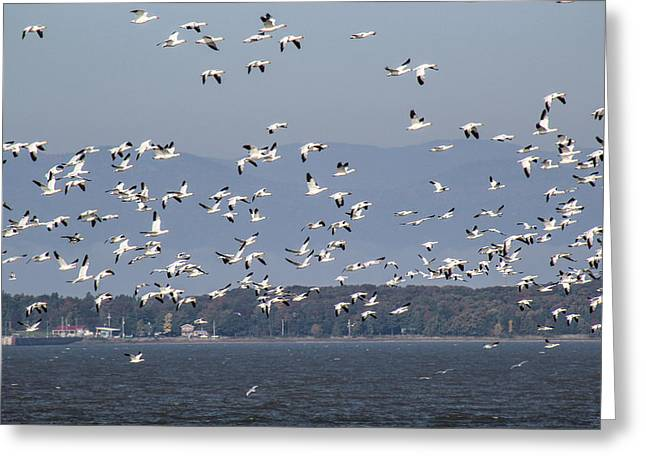 Saint-julien Greeting Cards - Snow Geese Fly Greeting Card by Julien Boutin