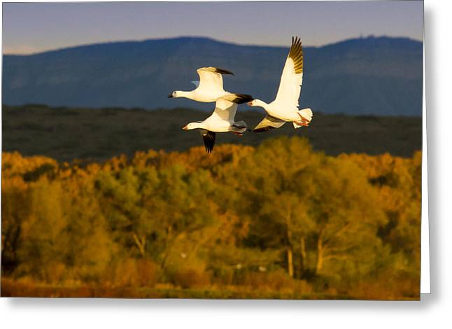 Water Fowl Greeting Cards - Snow Geese Flying in Fall Greeting Card by Jean Noren