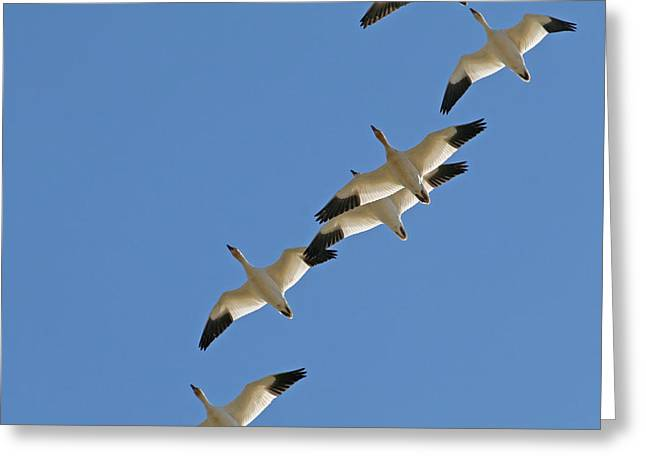 The Flight Of The Snow Geese Greeting Cards - Snow Geese Flying South for the Winter Greeting Card by Peggy Collins