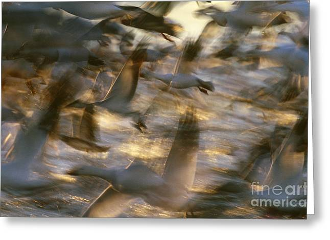 Water Fowl Greeting Cards - Snow Geese In Flight Greeting Card by Art Wolfe