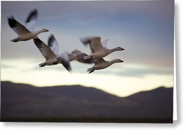 Wildlife Refuge Greeting Cards - Snow Geese In Flight Greeting Card by Panoramic Images