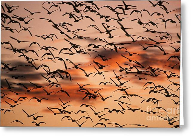 Water Fowl Greeting Cards - Snow Geese In Flight Greeting Card by Ron Sanford