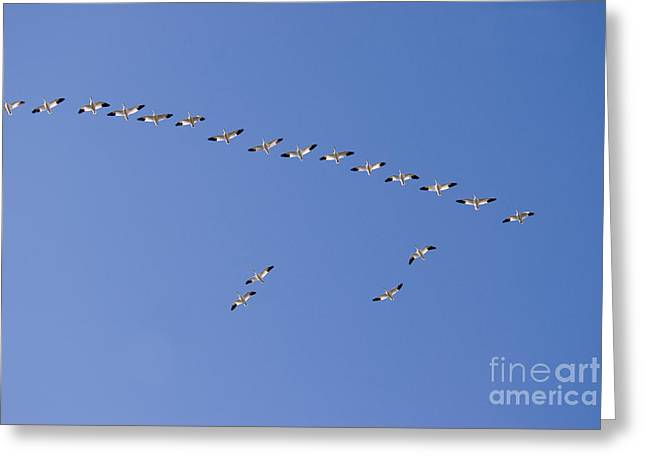 Snow Geese In Flight Greeting Cards - Snow Geese In Flight Greeting Card by William H. Mullins