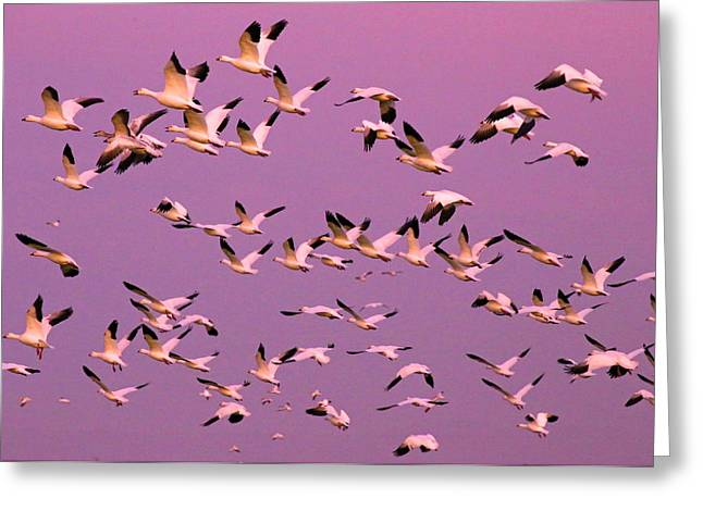 Sonny Bono Greeting Cards - Snow geese in Sunset Greeting Card by Renee Owens