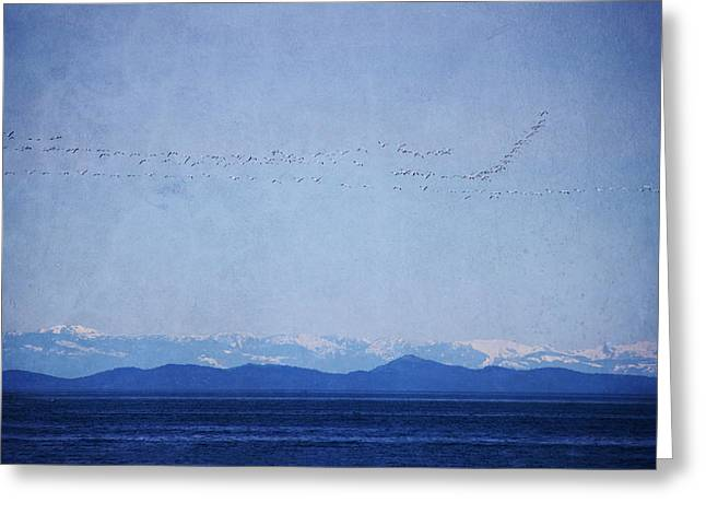Flocks Of Birds Mixed Media Greeting Cards - Snow Geese Over the Ocean Greeting Card by Peggy Collins
