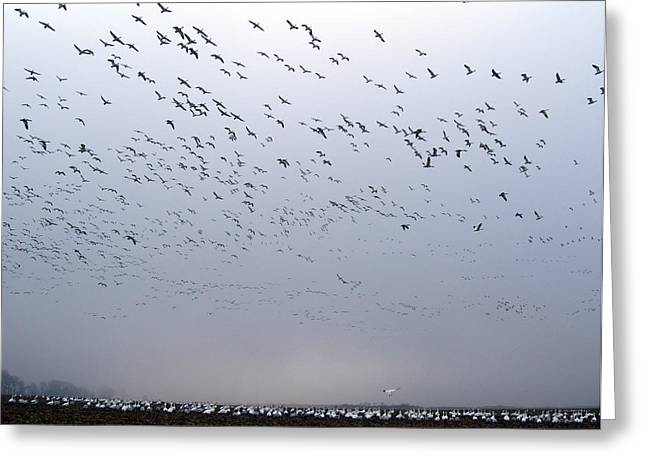 SNOW GEESE  Greeting Card by Skip Willits